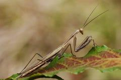 Close up praying mantis Stock Photography