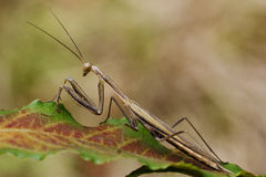 Close up of praying mantis Stock Image