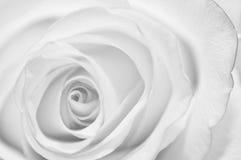 Bud of rose Royalty Free Stock Image