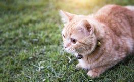 Predator instinc of cat. Close up predator instinc eye of domestic cat on green grass Royalty Free Stock Images