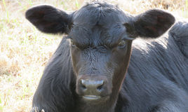 Close up preto da cara da vitela de angus Imagem de Stock