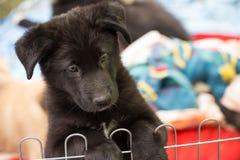 Close up preto desgrenhado bonito engraçado do retrato do cachorrinho fotos de stock royalty free
