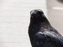 Close-up preto do corvo Fotos de Stock