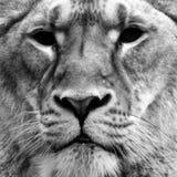 Close up preto e branco da leoa Fotografia de Stock Royalty Free