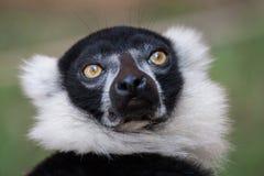 Close up preto e branco do lêmure de Ruffed Fotos de Stock Royalty Free