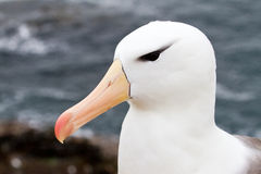 close up Preto-sobrancelhudo do albatroz Foto de Stock Royalty Free