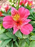 Crimson Peruvian Lily Royalty Free Stock Images