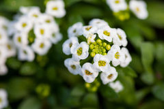 Close up of pretty pink, white and purple Alyssum flowers,  the Cruciferae annual flowering plant Stock Photos