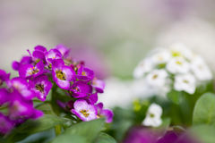Close up of pretty pink, white and purple Alyssum flowers,  the Cruciferae annual flowering plant Stock Photo