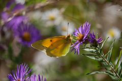 Close-up of pretty Yellow Butterfly on Purple Wildflower royalty free stock photo