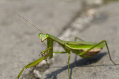 Close Up of a Preying Mantis Preening Itself Royalty Free Stock Photo