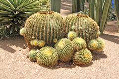 Close-up of a prickly cactus. Exotic plants Royalty Free Stock Images