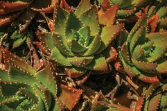 Close-up of prickly leaves of succulent plants. Close-up of prickly leaves of lush succulent plants in front of wall at Evoramonte. A tiny fortified civil parish royalty free stock photography