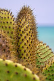 Close-up of Prickly Pear Cactus Royalty Free Stock Image
