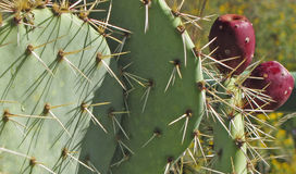 Close-up of Prickly Pear Cactus Royalty Free Stock Images