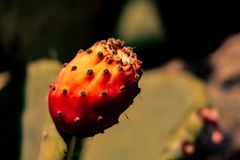 Close up from prickly pear royalty free stock images