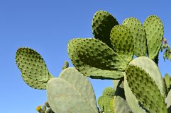 Close-up of a Prickly Pear Plant, Nature, Sicily. Background, Macchia Mediterranea stock photos