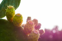 Close up of prickly pears, Crete. Greece royalty free stock image