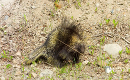A close-up of a prickly porcupine in northern british columbia Stock Photography