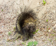 A close-up of a prickly porcupine in northern british columbia Stock Photo
