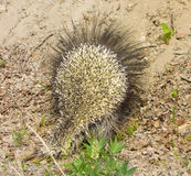 A close-up of a prickly porcupine in northern british columbia Royalty Free Stock Photography