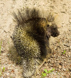 A close-up of a prickly porcupine in northern british columbia Royalty Free Stock Images