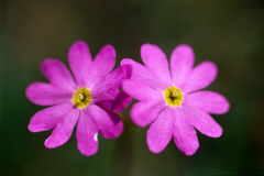 Close up of primrose flowers Royalty Free Stock Images