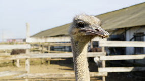 Close up principal da avestruz Fotografia de Stock