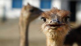 Close up principal da avestruz Imagens de Stock Royalty Free