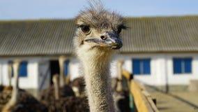 Close up principal da avestruz Imagem de Stock