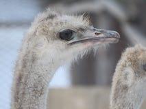 Close-up principal da avestruz Olhos e bico zoo fotografia de stock royalty free