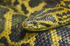 Close up principal da serpente Fotos de Stock
