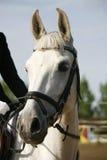 Close up principal do tiro de um cavalo novo no evento de salto da mostra Foto de Stock Royalty Free