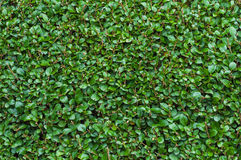 Close-Up Privet Hedge. Extreme Close-Up of Freshly Cut Green Privet Hedge Stock Image