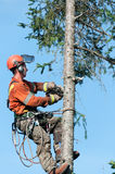 Close up of a Professional lumberjack cutting tree on the top royalty free stock photography
