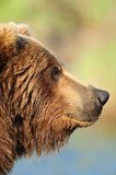 Close up profile of bear Royalty Free Stock Photo