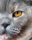 Close up profile of british shorthair cat. Photo of half face profile of pedigree british shorthair blue cream cat Royalty Free Stock Photo