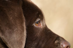 Close-up profile of a brown labrador Royalty Free Stock Photography
