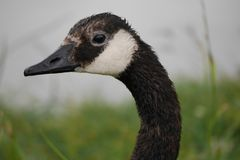 Close-Up Profile of Canadian Goose stock photo