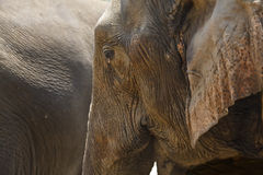 Close-up profile elephant head. Royalty Free Stock Photography