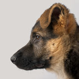 Close-up profile of German Shepherd puppy Royalty Free Stock Images