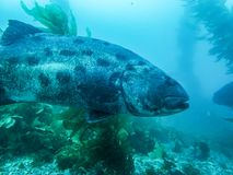 Close Up Profile Giant Sea Bass in Kelp Forest Underwater Fish royalty free stock photography