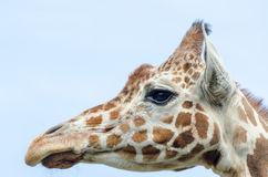 Close up profile of giraffe. Close up profile of an adult giraffe against the blue sky Royalty Free Stock Photo