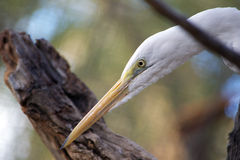 Close-up profile of Great Egret face and yellow bill stock images