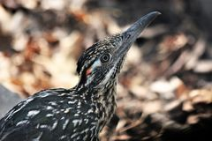 Greater Roadrunner Close-up. Close-up profile of a greater roadrunner bird stock photos
