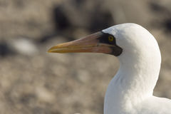Close-up profile of the head of an adult nazca booby. Royalty Free Stock Photography