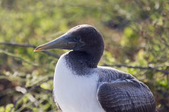 Close-up profile of the head of a nazca booby. Stock Images