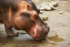Hippo Head Stock Photography