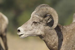 Close up profile of male bighorn sheep. Stock Photo