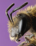 Close up profile of a miner bee Royalty Free Stock Photos